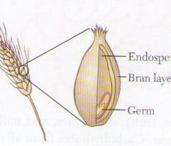Diagram of a Wheat Berry