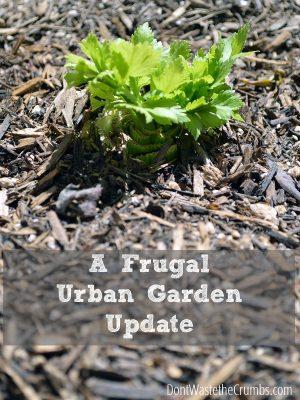 A Frugal Urban Garden Update