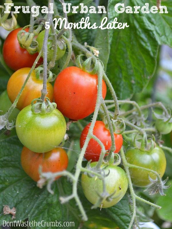 Frugal Garden Update Month 5