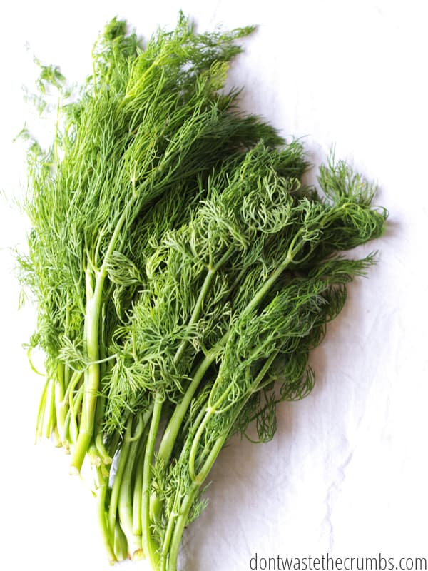 Large bunch of fresh dill weed.