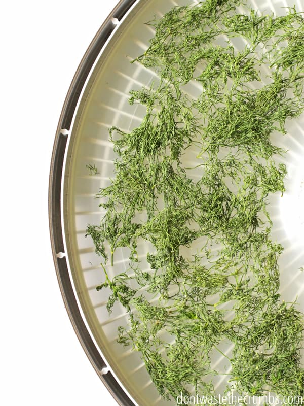 Dehydrated dill in a dehydrator tray.