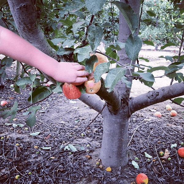 I love these apple picking tips for kids - they're practical and helpful for both the kids and the parents! So often we go on these trips and end up stressed, but these tips make the day go much smoother and the kids have so much fun apple picking!! :: DontWastetheCrumbs.com