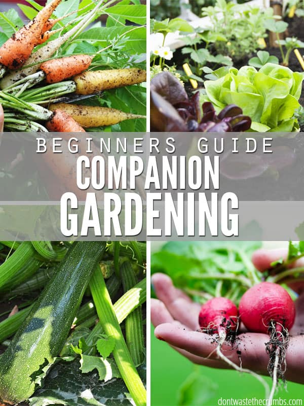 Know what vegetables help each other grow - and which ones don't - with this beginner's guide to companion gardening. If you struggle with gardening, these tips will definitely help! :: DontWastetheCrumbs.com