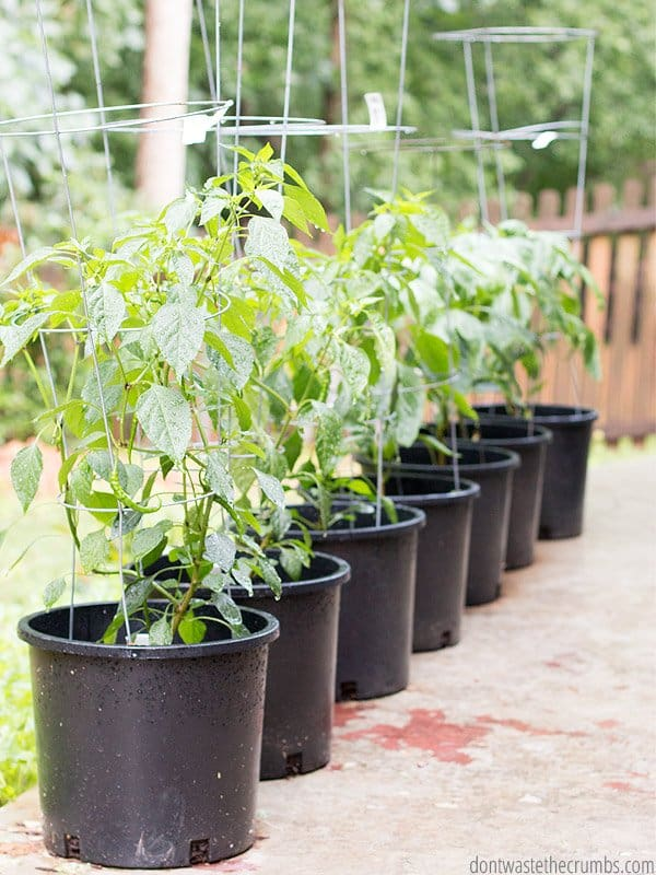Summer Vegetable Garden In Georgia