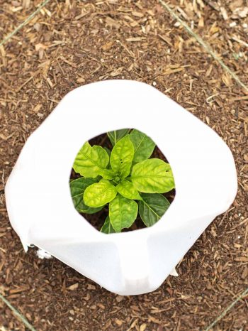 Here's another way you can use plastic for gardening, Insulate smaller plants with milk jugs