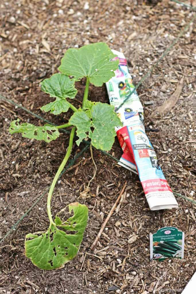Here's a way you can use plastic for gardening, using an old plastic container so you can catch pincher bugs with oil.